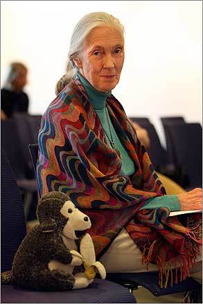 Primatologist Jane Goodall was in Boston recently to highlight her Roots & Shoots groups, which encourage young people to help their communities and the environment. She sat with Mr. H., which was given to her 15 years ago, while waiting to speak at a press conference after a lecture at UMass-Boston.