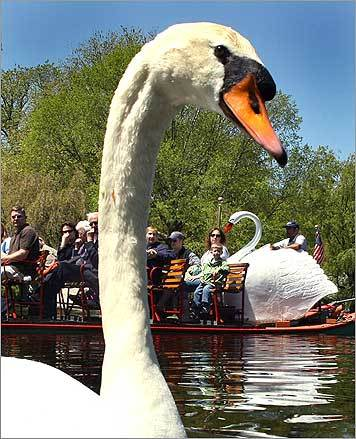 Swan boat passengers looked at one of the real swans at the Boston Public Garden.