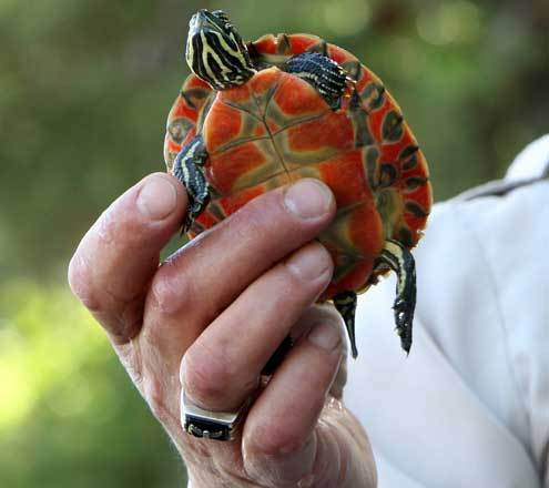 Northern Red Bellied Turtle Northern Red Bellied