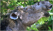 Moose safari