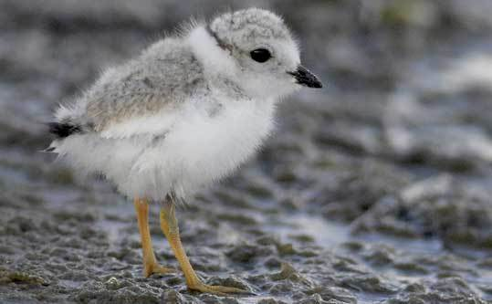 A piping plover chick on Revere Beach last year. This is the second straight year that piping plovers have nested there.
