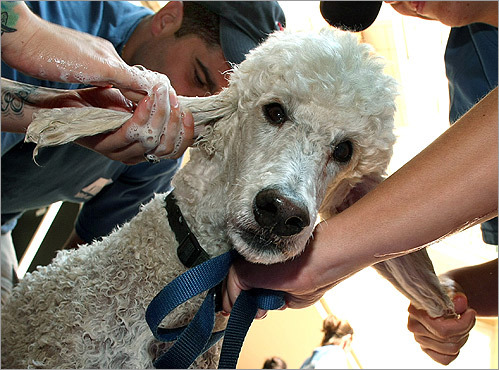 At the fourth annual charity dog wash in Cambridge, an event that benefited the Trust for Public Land, Trundo, a standard poodle from Newton had his ears washed.