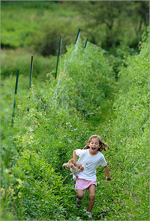 Lucy Slocum of Wayland ran back to her mother while screaming, 'I found new beans.' Lucy and her mother had taken advantage of the good weather to visit the Land's Sake Farm in Weston to pick vegetables and berries.