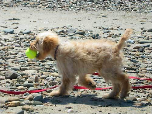 Teddy Butterscotch plays ball on Duxbury Beach.