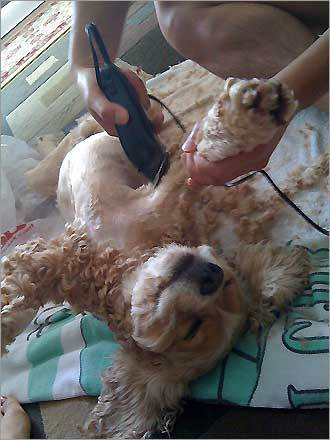 Cyber, a 4-year-old cocker spaniel from Cambridge, gets the spa treatment.