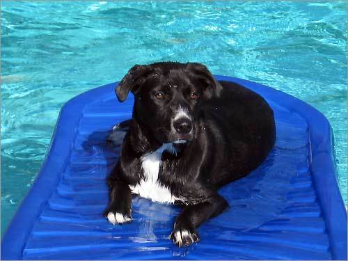 Jack Sparrow, a Lab mix, chillin' on the raft before taking a swim.