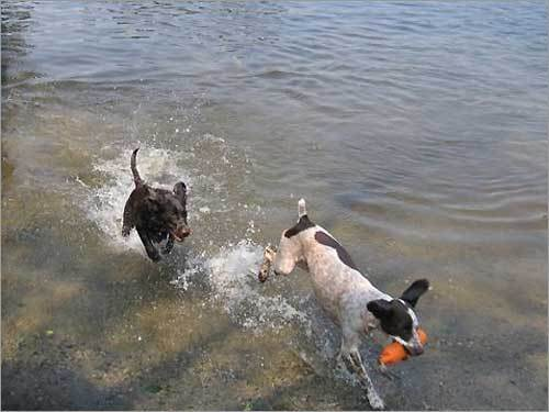 Tessie and Freckles keep cool while playing chase on Lake Nipmuc in Mendon.