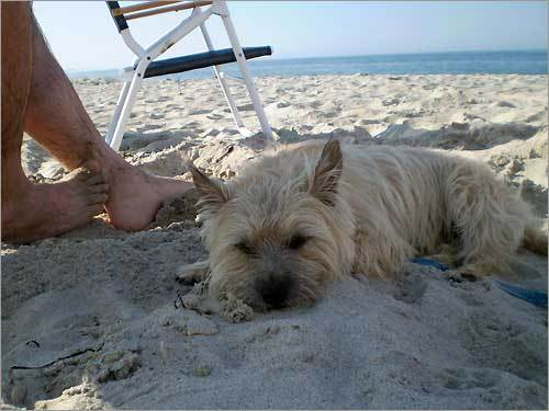 Riley, a 3-year-old Cairn Terrier, relaxes at Rexhame Beach in Marshfield.