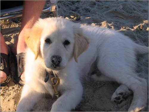Bear, an English golden retriever, likes to eat shells, sand, and seaweed. This photo was taken at his very first beach barbecue.
