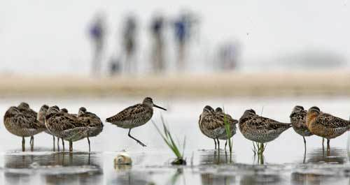 Shorebirds are in decline all over the world because of development of their fragile coastal habitat. Birds that must migrate up to 19,000 miles every spring and fall can't afford to waste energy evading beach walkers, all-terrain vehicles, or dogs, researchers say.
