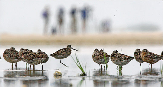 Shorebirds are in decline because of development of their fragile coastal hab