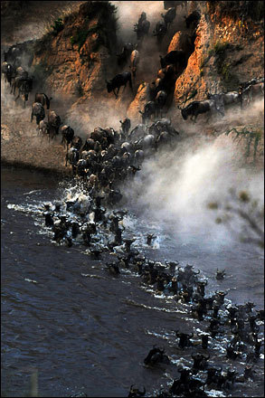 Wildebeest rush down an embankment and cross the Mara River during their annual migration through the Masai Mara National park in Western Kenya on August 15, 2008.