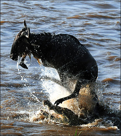 A wildebeest leaps into the air in an effort to escape the jaws of a crocodile while crossing the Mara River. Wildebeest make a migratory circle of 500 to 1,000 miles each year, beginning right after the calving season in January and February on the southeastern Serengeti plains, moving west toward Lake Victoria, then turning north into the Maasai Mara.