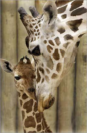 A two-week-old reticulated giraffe is nuzzled by her mother 'Franny' at the Brookfield Zoo in Chicago. The five-foot-tall calf is the the 57th giraffe born at Brookfield Zoo and Franny's third offspring.