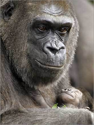 Western Lowland mother gorilla Mouila, shows off her new baby male named Mahale for the first time at Taronga Zoo in Sydney, Australia.