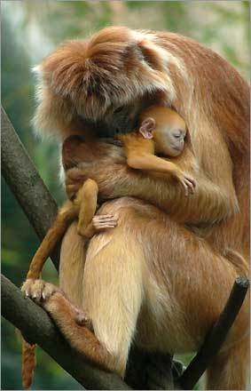 A new-born Javan Lutung (Trachypithecus auratus), also known as Javan Langur, baby is embraced by Smirre, the mother, in the Budapest Zoo in Budapest, Hungary.
