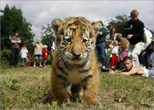 Antares the Siberian tiger cub, also known as an Amur tiger cub, is seen during a presentation to the media at the Berlin Zoo in Germany.