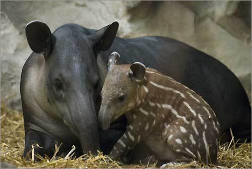 Abby, a three-year-old Baird's tapir at Franklin Park Zoo, nuzzles her newborn male baby.