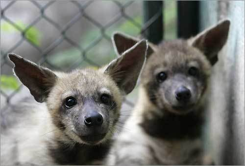 Two baby hyenas sit in their enclosure at Cuba's National Zoological Park on the outskirts of Havana.