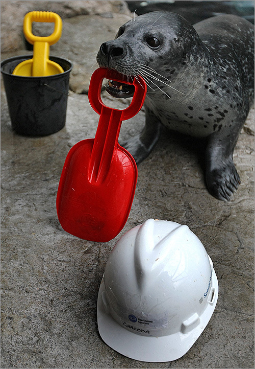 A seal plays with plastic toy construction tools