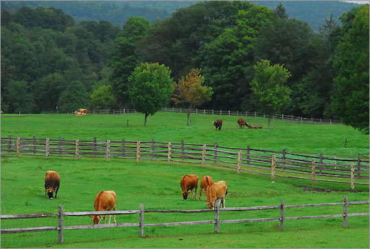 Cows graze among the open space at Woodstock's Billings Farm and Museum.