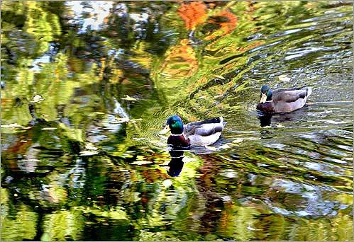 Ducks glided through the still waters of the lagoon in the Charles River near the Esplanade in Boston on Oct. 14.