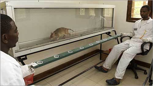 A rat sniffed saliva samples to detect tuberculosis. Some rats can evaluate 40 saliva samples every 10 minutes.