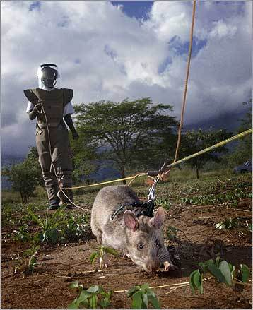 A rat in training for land-mine sniffing in Tanzania.