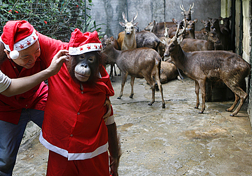 Zookeepers prepared an orangutan Santa, accompanied by reindeer, at a promotional event for at Malabon Zoo in Manila on Dec. 14.
