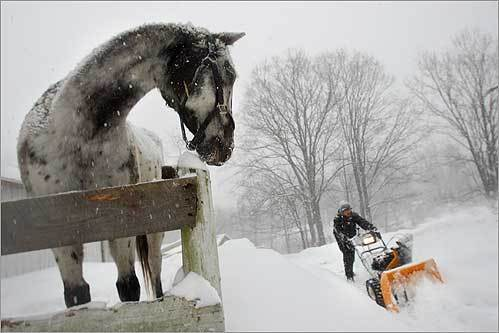 Selah Smart, 16, of Boxboro, struggled to plow a path to the barn that houses his two horses, Wallapooluza, an Appaloosa, (pictured) and Sara Sioux, a Shetland Pony.