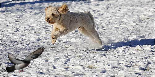 Duke, a golden doodle, ran with the pigeons amid the ice in the Back Bay section of Boston on Jan. 4.