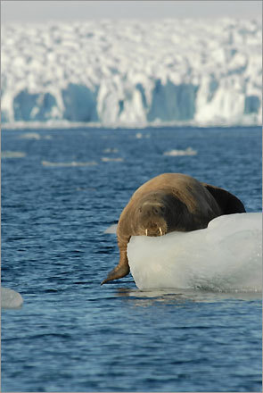 A walrus lolls in the sunshine on an ice floe in Croker Bay, somewhere around the 75th parallel.