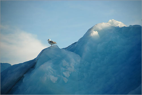 A seabird perches on an iceberg in Croker Bay.
