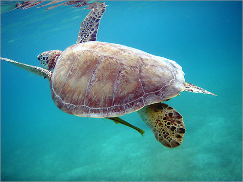 A turtle surfaces for a breath of air in Akumal Bay on the Yucatan coast of Mexico