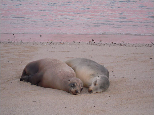 Sea lions in love in the Galapagos Islands