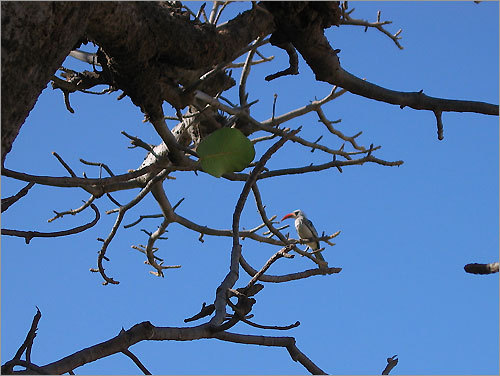 A red-billed hornbill in a baobab tree, Palmarin N'Gallou, Sine et Saloum, Senegal, last month.