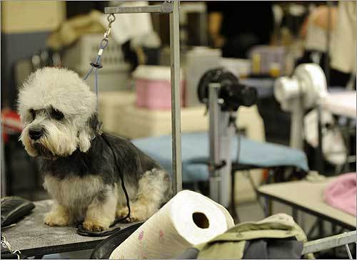 A Dandie Dinmont terrier waits patiently for its groomer.