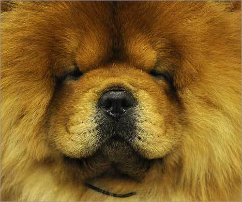 A chow chow was groomed backstage Feb. 9.