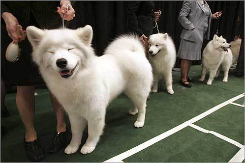 Vanna, a Samoyed from Dillsburg, Pa., received a salt brushing by owner Heather Shannon to prepare for the judges.