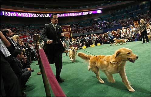 The golden retrievers were run by their handlers in the sporting group.