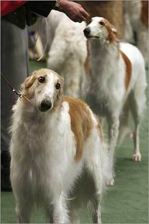 Borzoi hounds lined up for their shot at victory.