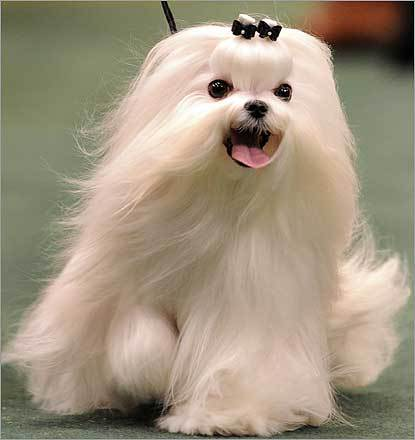 A Maltese ran around the ring in the Toy Group.
