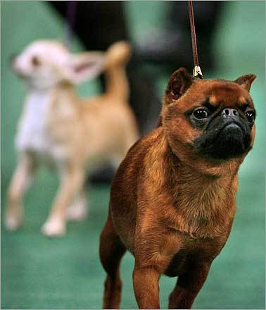 Lincoln, a Brussels griffon, won the Toy Group.