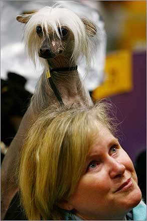 'Phoenix,' a Chinese crested sits on the shoulder of Merryman Cleveland after being shown during day two of the competition.