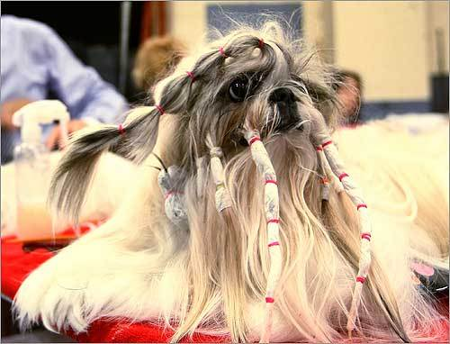 'Bell,' a Shih Tzu waited to be groomed on the second day.