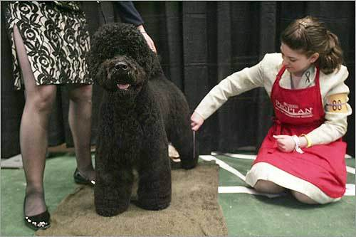 The Obamas' choice Michelle Obama announced the first family was looking to adopt a Portuguese water dog, the same type of dog owned by Senator Edward M. Kennedy. A Portuguese water dog was groomed at the Westminster Kennel Club dog show in the photo at left.