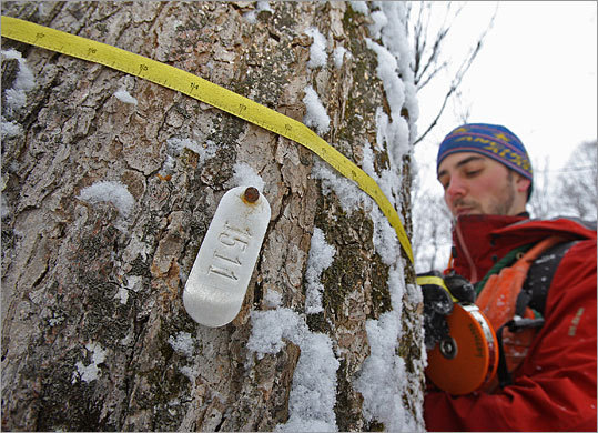 University of Vermont graduate student Jared Nunery measures a sugar maple in a study plot in the Mt. Mansfield State Forest in Vermont. Forests are natural storage areas for carbon dioxide.