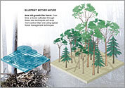 Graphic: Mimicking old-growth forest