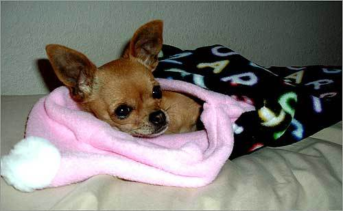 This little guy is enjoying The Puppy Pocket, a sleeping bag for tiny dogs.