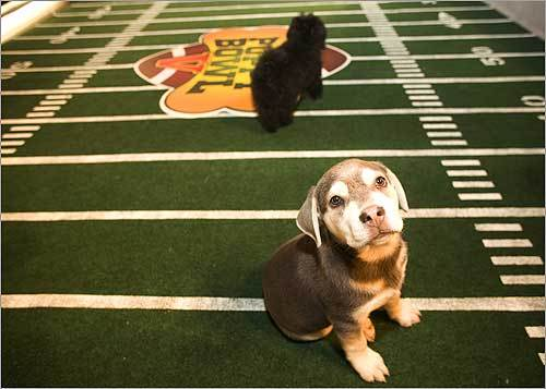 This is Schroder at Puppy Bowl V in 2008. The Animal Planet show offers a diversion on Super Bowl Sunday every year by featuring dogs playing together on a miniature football field.